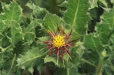 Blessed thistle cnicus benedictus