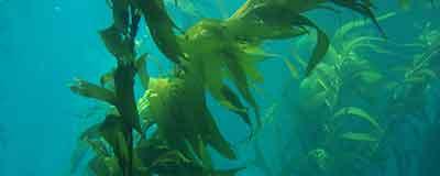 kelp noaa banner