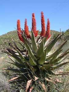 Cape Aloe Leaf Extract